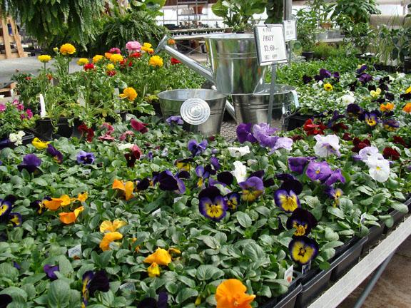 Pansy plants and more cool season annual flower plants at Hillermann Nursery and Florist