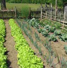 Picture of a vegetable garden