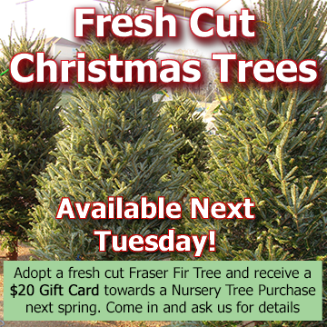 Picture of fresh Fraser Fir Christmas trees with text - Fresh Cut Christmas Trees available next Tuesday