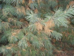 White Pine tree will fall yellowing
