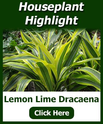 Houseplant Highlight - Lemon Lime Dracaena - click for plant information