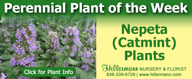 Perennial Plant of the Week - Nepeta - Catmint Plants