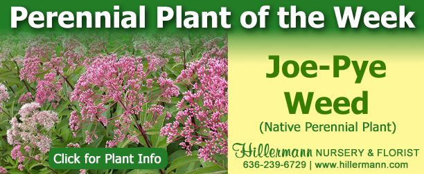 Perennial of the Week - Joe-Pye Weed - click for plant information