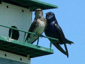 Purple Martin birds on a birdhouse