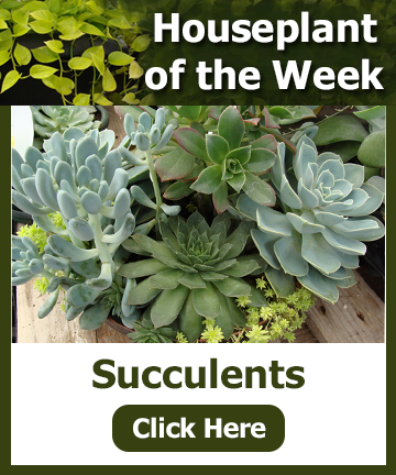 Houseplant of the week - Succulents, picture and text - click for more