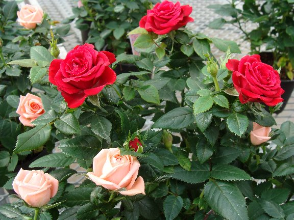 Blooming mini roses available at Hillermann Nursery and Florist