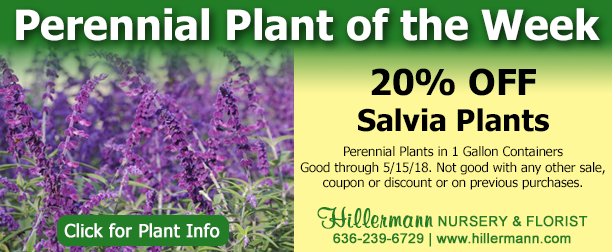 Perennial plant of the week - Salvia - click for plant information