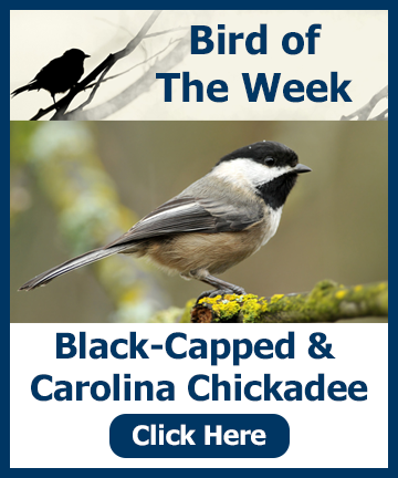 Bird of the Week - Chickadee. Click for information and a special offer