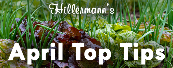 Vegetable garden picture with text - Hillermann's April Top Tips