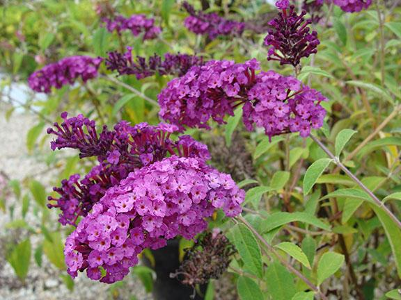 Butterfly Bush blooms at Hillermann Nursery and Florist