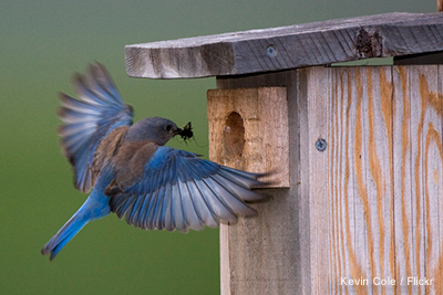 A Bluebird flying to house with food - Kevin-Cole-Flickr