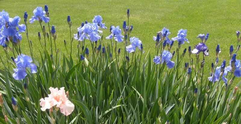 Blooming Iris Plants - Divide -and conquer- Iris in August By David Trinklein, University of Missouri Division of Plant Sciences
