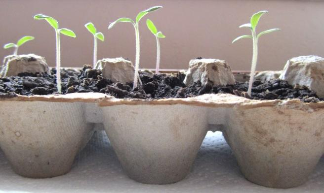Egg carton tray used for starting seeds with seedlings growing