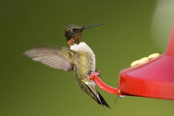 Ruby-throated hummingbird at a feeder - courtesy of Missouri Department of Conservation