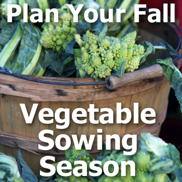 Broccoli harvest in barrel with text - Plan Your Fall Vegetable Sowing Season