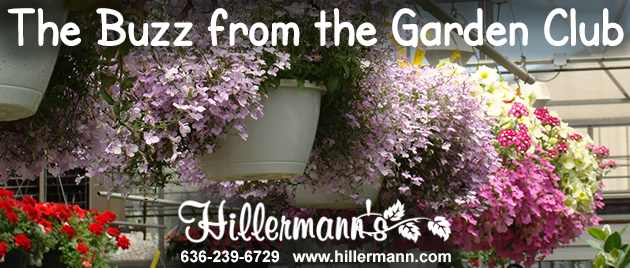 Picture of Hanging Baskets available at Hillermann Nursery and Florist with text - The Buzz from the Garden Club and the Hillermann logo - phone and website
