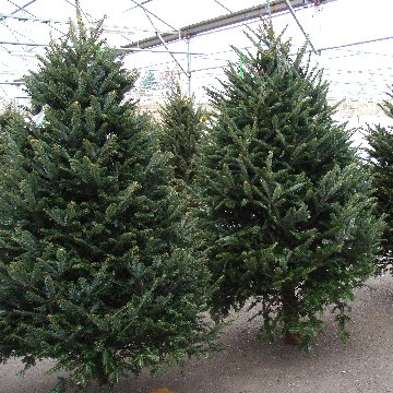Fresh cut, real, Christmas trees at Hillermann Nursery and Florist