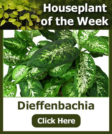 Houseplant of the Week - Dieffenbachia