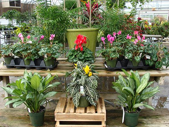 Houseplants - blooming and foliage plants available at Hillermann Nursery and Florist