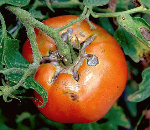 Tomato on vine with cracks and leaf spot - by Bob Westerfield for his article in State-by-State magazines
