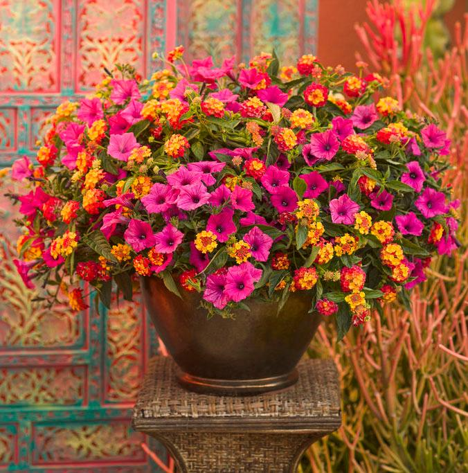 Container Garden - Caribbean Day from Proven Winners - provenwinners.com