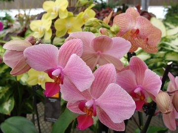 Orchids in bloom at Hillermann Nursery and Florist