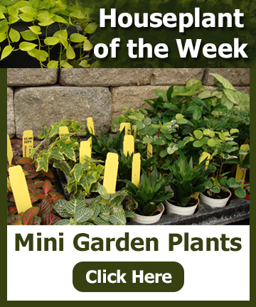 Houseplant of the Week 2-20-28 - Mini Garden Plants