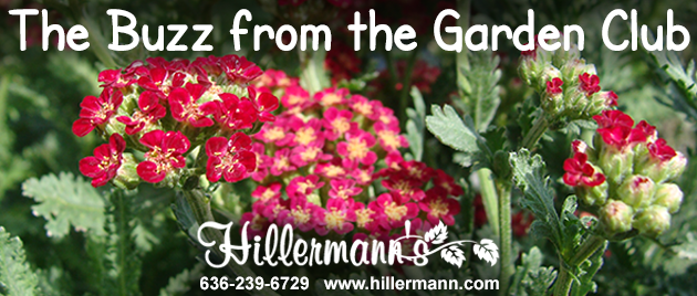 Picture with blooms from a red yarrow perennial plant with text - The Buzz from the Garden Club - Hillermann Nursery and Florist