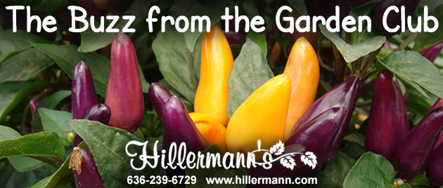 Picture of Ornamental Peppers with the Hillermann logo and newsletter heading - Hillermann Nursery and Florist