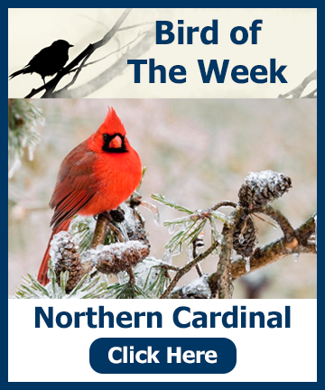 Bird of the week - Cardinal - heading and picture - Hillermann Nursery and Florist