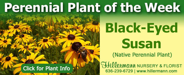 Perennial Plant of the Week - Black-Eyed Susan - click for plant information
