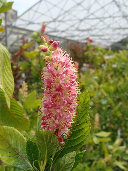 Clethra - Ruby Spice shrub blooms at Hillermann Nursery and Florist