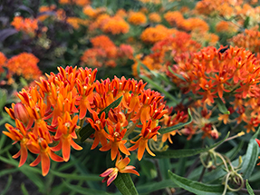 Milkweed flower picture from Botanical Interests Seeds