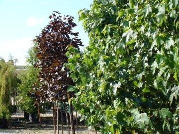 Trees on the Nursery Sales Lot
