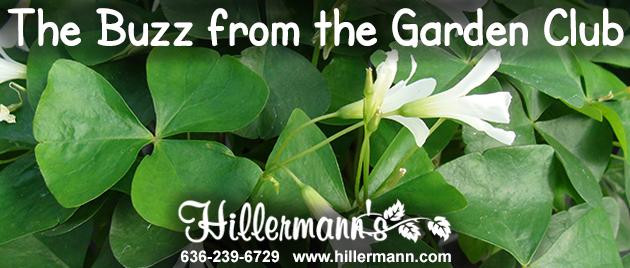 Shamrock plants at Hillermann Nursery and Florist
