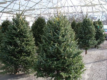 Fresh cut Christmas trees available at Hillermann Nursery and Florist