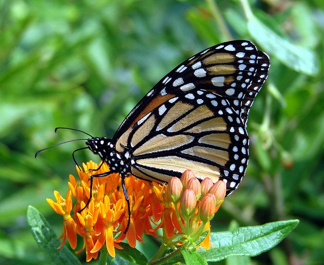 Monarch butterfly on a butterfly weed plant