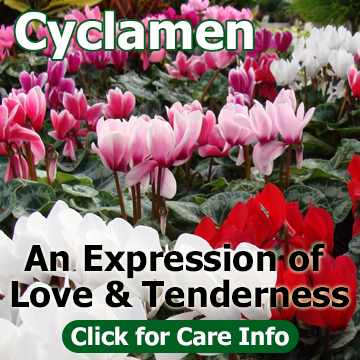 Cyclamen, An Expression of Love and Tenderness - photo and title block