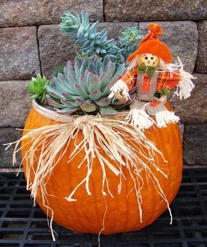 Pumpkin planted with succulents for a creative fall centerpiece - by staff at Hillermann Nursery and Florist