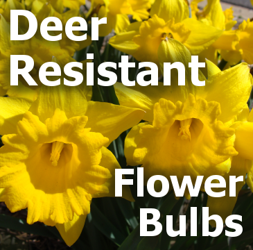 Deer Resistant Flower Bulbs - title block with a daffodil picture