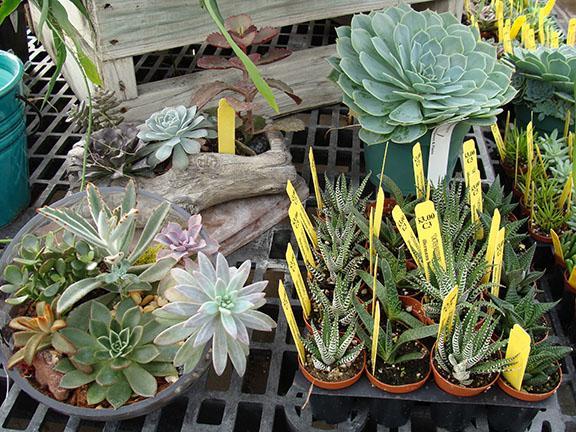 Succulent plants available at Hillermann Nursery and Florist