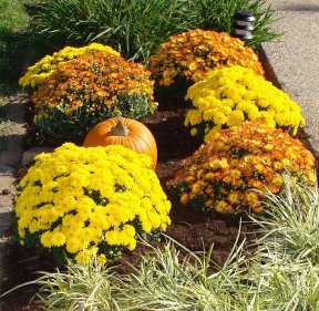 Fall flowerbed with colorful garden mums