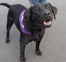 A black dog at Bark for Life
