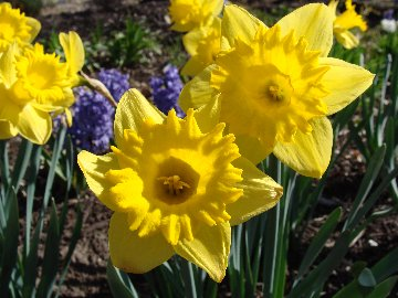Daffodil flowers with hyacinths in the background in a display garden at Hillermann Nursery and Florist