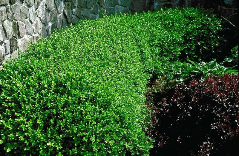 Boxwood shrubs in a landscape bed