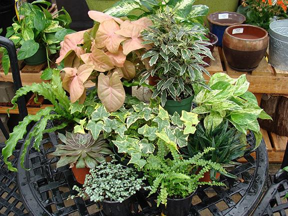 Houseplants displayed in the greenhouse at Hillermann Nursery and Florist
