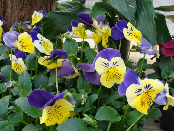 Cool season flowers and vegetable plants available at Hillermann Nursery and Florist