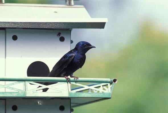 Purple Martin on perch of martin house. Photo by Missouri Department of Conservation Staff - courtesy MDC