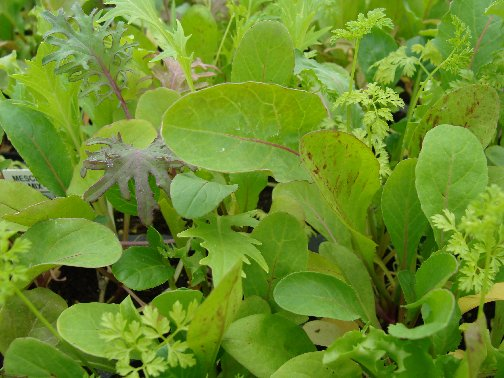 Lettuce mix plants available at Hillermann Nursery and Florist