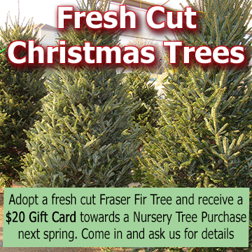 Fresh Cut Christmas Trees - picture with text - Adopt a Fresh Cut Christmas Tree and receive a $20 Gift Card towards a Nursery Tree purchase in spring of 2018